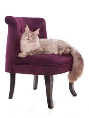 beau chat main coon sur un fauteuil bordeaux