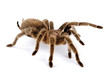 Chilean Rose Hair Tarantula - 78420165