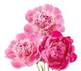 Fototapety Peony bunch isolated on white background