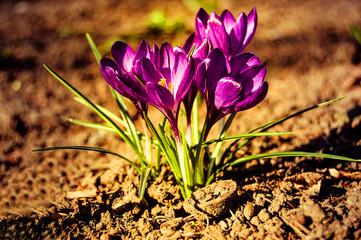 small purple crocus flowers close up
