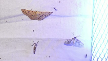 Moth trap, a white sheet with a UV blacklight
