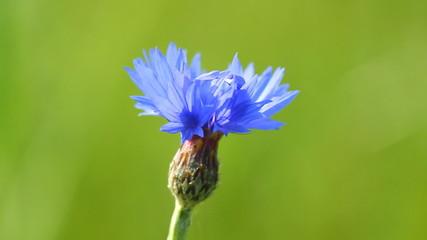Blue cornflower and singing birds