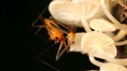 Assassin bug feeding on a fruit fly on a fungus covered trunk