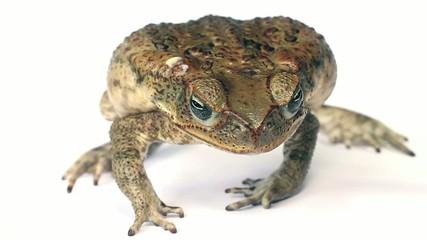 Cane Toad (Rhinella marina) displaying defence posture