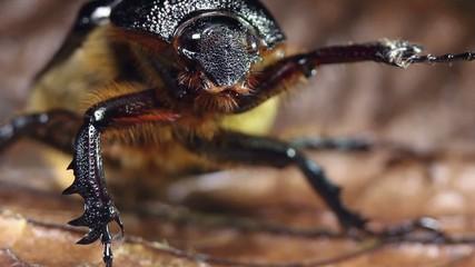 Female rhinoceros beetle, Ecuador