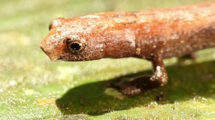 Amazon Climbing Salamander (Bolitoglossa altamazonica)
