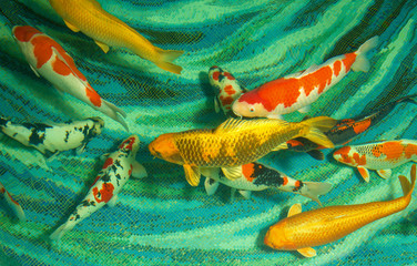 beautiful koi fish swimming in the pond
