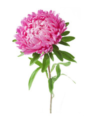 Pink aster flower closeup isolated on white