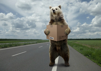 Bear with box,standing on the road.