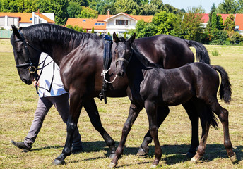 Black horse and a young foal