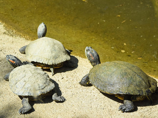 Turtles at the lakeside