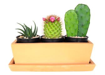Cactus ( Pereskia , Echinocactus , Opuntia )
