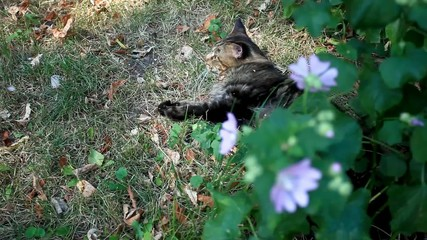 Maine coon cat playing in grass near flower. Selective focus, HD