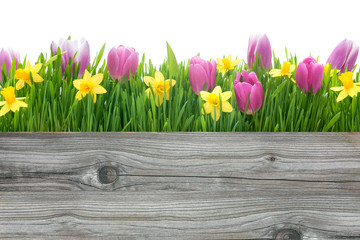 spring tulips and daffodils flowers with copy space
