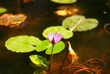 Awaken lotus