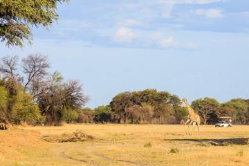 Giraffe (Giraffa camelopardalis), Namibia
