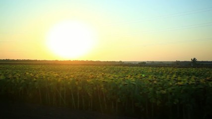 Sunset over the field of sunflowers view from motion car. HD