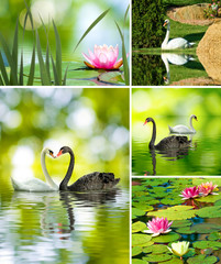 beautiful lotus flowers and swans