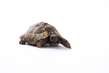 Greek land tortoise, Testudo Hermanni, isolated