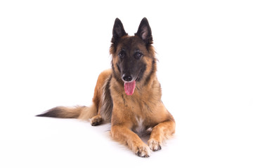 Belgian Shepherd Tervuren bitch laying down