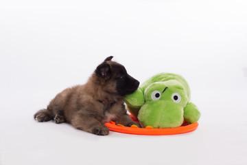 Belgian Shepherd Tervuren puppy with green toy
