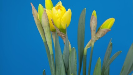 blooming  narcissus isolated timelapse time lapse