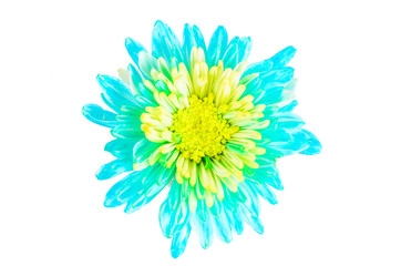 turquoise chrysanthemum flower on white background,isolate