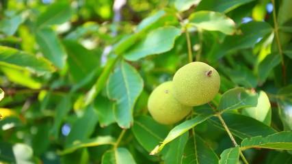 two green walnuts on the tree. HD. 1920x1080