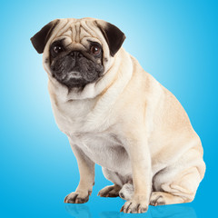pug dog on a blue background