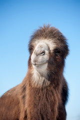 Head of a camel on a background of blue sky. Focusing on the nos