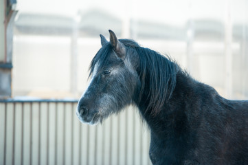 The black horse with long fur portrait