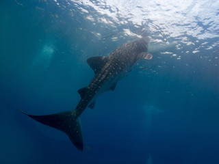 Whale shark (Rhincodon typus) is the largest extant fish