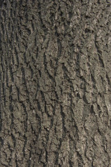 Walnut tree bark