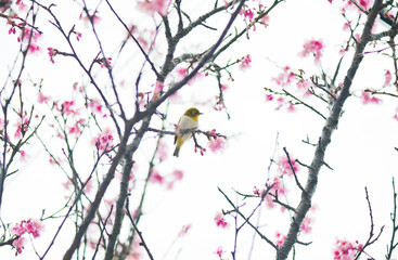 Japan, Puffed up bird perching on cherry tree branch