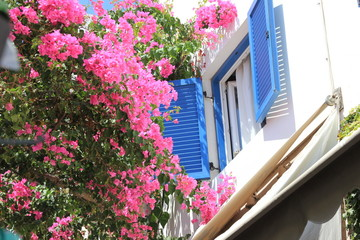 Greece, Santorini, Blooming bush and window with blue shutters