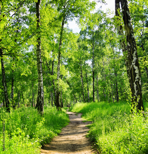 Birch forest on a sunny day. Green woods in summer - 78452952
