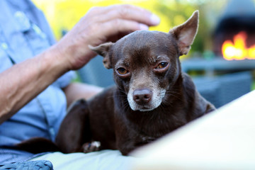 Close up of men stroking brown chihuahua