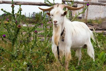Proud he-goat.