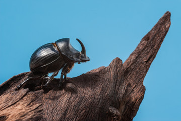 Rhinoceros beetle on trunk mangrove wood and blue background