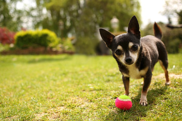 Chihuahua playing with ball
