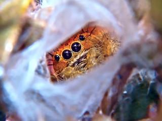 USA, Arizona, Close-up view of Jumping Spider