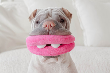 Portrait of shar-pei dog with toy mouth