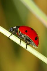 Ladybug on lea