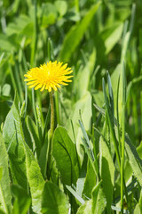 Yellow dandelion in the green grass