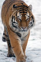 Siberian Tiger walking through snow