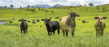 Australian Agriculture Beef Cattle Panorama Landscape
