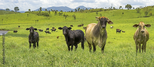 Foto op Canvas Koe Australian Agriculture Beef Cattle Panorama Landscape