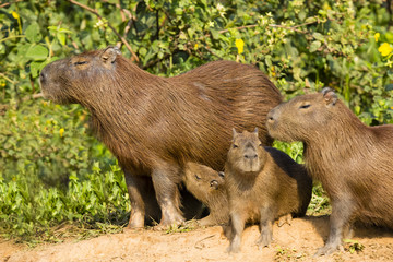 Adult Female Capybara and Different Age Babies
