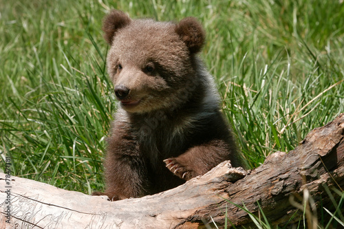 Fotobehang Dragen Grizzly bear cub sitting on the log