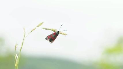 Erdeichelwidderchen bei der Paarung